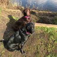 Care for two lovely Labradors - Kendra and Pepsi