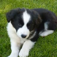 Pet Sitter needed for my 4 month old Border Collie Puppy