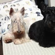 SCOTTISH TERRIER LOVERS TO CARE FOR THEM IN OUR HOME - 4 doors from Chelsea Victoria Australia BEACH