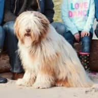 Loveable Bearded Collie in Lincoln