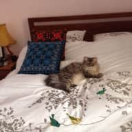 Pet sitter needed for my gorgeous British Longhair for one week