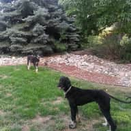 Afghan Hounds in new home near Lake Isabel need sitter
