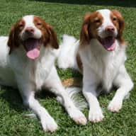 Pet sitter needed for 2 Brittany Dogs & 1 black & white cat whilst away over Easter 2019