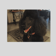 Standard Poodle Carer with House
