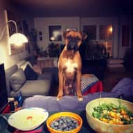 An adorable but feisty boxer to dogsit in cool Mile End, Montréal.