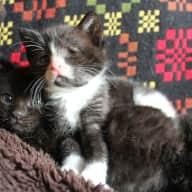 Sitter needed for 2 kittens and 1 cat, near Dartmoor, West Devon - September