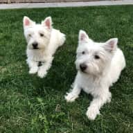 Looking for a House sitter (Female preferred) for home with 2 Westies in Calgary, AB
