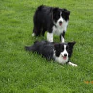 2 border collies need a house sitter in Melbourne west area