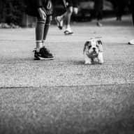 2 English Bulldog puppies need a babysitter