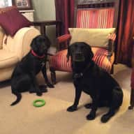 2 labradors 24 hour sit in Bedford