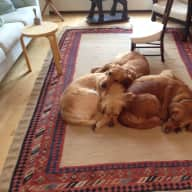 Spring in a beautiful London house with 3 Golden Retrievers