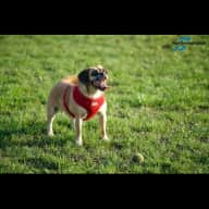 House and Pet Sitter Needed for a Precious Puggle