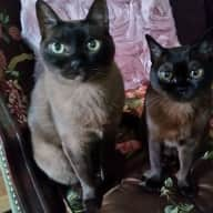2 Cuddly & Affectionate Hypoallergenic Burmese Cats