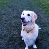 House/dogsitter needed to look after our 13 year old golden retriever in Sevenoaks.