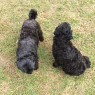Shoodle Dogs, Max and Georgie looking for caring pet and housesitters