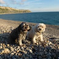 Caring sitter wanted for 2 gorgeous cavapoos in the heart of St Albans, near London