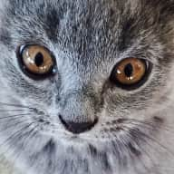 Scottish fold cats looking for company