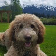 Whistler Golden Doodle - Mountains, Lakes & Fresh Air