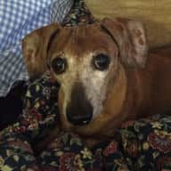 Pet sitter needed for our Dachshund near Seattle.
