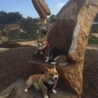 2 Corgis in Sunny Southern California!