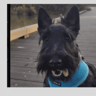 Beautiful Scotties  looking for a lovely person or people to care for them