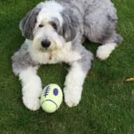 Local to Scotland dog sitter needed for Old English Sheepdog in Troon