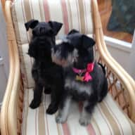 Pet /house sitter wanted 22 February - 20 March 2019 for two lively mini schnauzers