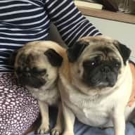 Live in sitters to look after 2 half sister pugs.