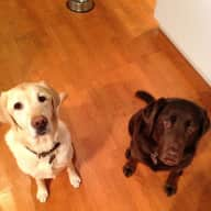 8 Days with two Labradors on Grouse Mountain