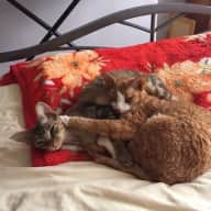 3 Devon Rex looking for a house sitter in Manchester UK