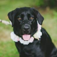 We would like someone to look after very sweet, energetic black lab, Polly in Wallingford, Oxfordshire