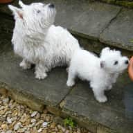 Pet sitter needed for two westies, 18 months and  I yr old