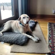 Basic pet care for Ginger,  an 8 year old female lab, in Portland, Oregon