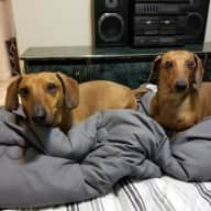 2 Loving Dachshunds ( and a cute little bichon poodle) need a loving sitter