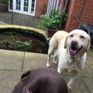 2 friendly Labs with miles of woodland on the doorstep.