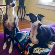 Italian Greyhounds in Toronto