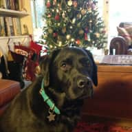 Beautiful Black Labrador + 4 Happy Chooks August 2016