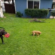 Two pups and 3 hens in West Anchorage