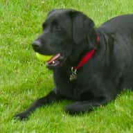 dog loving couple required to look after black lab for occasional weekends  + some holidays
