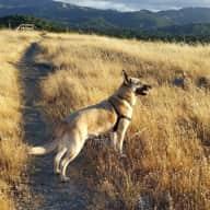 Dog sitter needed for my Belgian shepherd