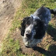 URGENT - Sitter needed for my 4 year old cocker spaniel, Bailey