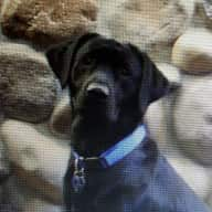 Sitter needed for 2 year old super mellow black lab.
