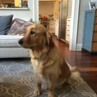 Lovely 4 year old golden retriever looking to make new friends.