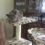 House sitting for 2 Burmese cats in Townsville