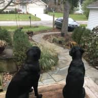2 Black Labs Need a Sitter