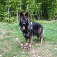 Caring & experienced dog handler(s) required who will put the needs of our GSD first