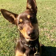 Miss Roxy our beautiful Kelpie pup needs a carer for 8 days in beautiful Northern Brisbane