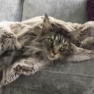 Beautiful Maine Coon looking for company over Christmas & New Year 2017-18