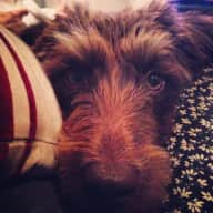 Pet/housesitter required for my gorgeous miniature labradoodle Fynn, in Swanwick Hampshire.