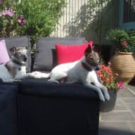 Short house sit in York looking after 2 fox terriers in May 2015